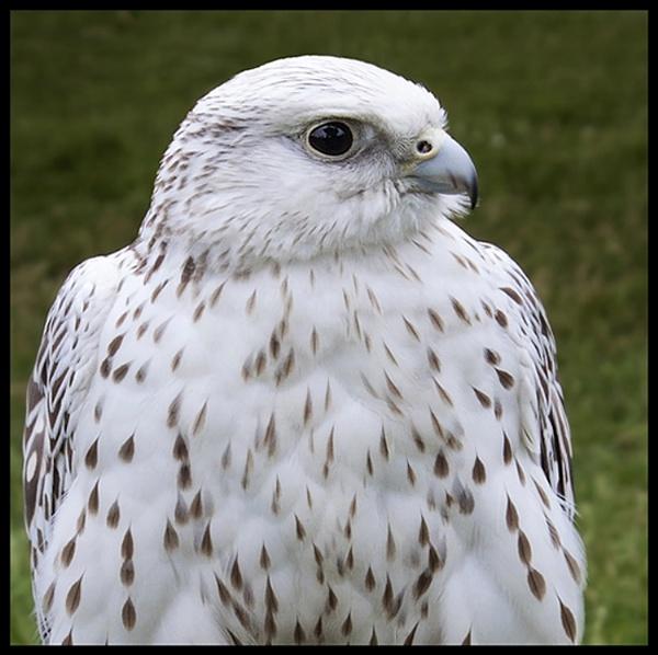 Gyr-Sakar Falcon. by Niknut