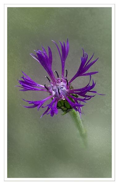 Centaurea by CaroleS