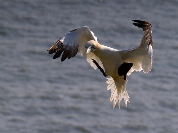 Gannet hovering by footloose
