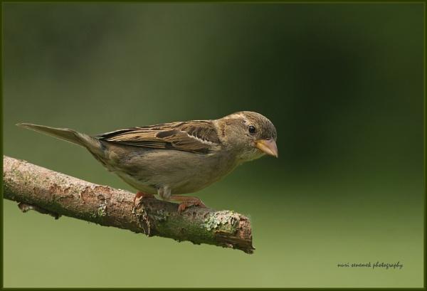 sparrow & sparrows by senn
