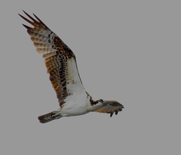 Osprey in flight by StuartDavie