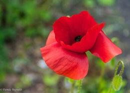 One lonely Poppy
