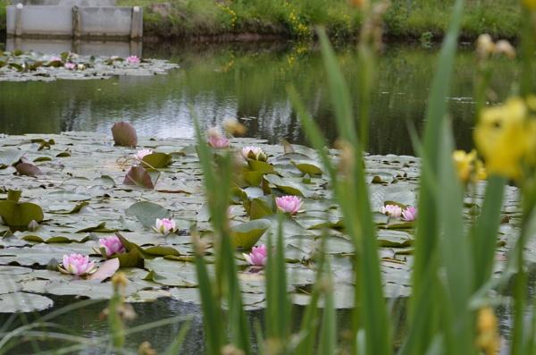 Lilly Pond by steveo12