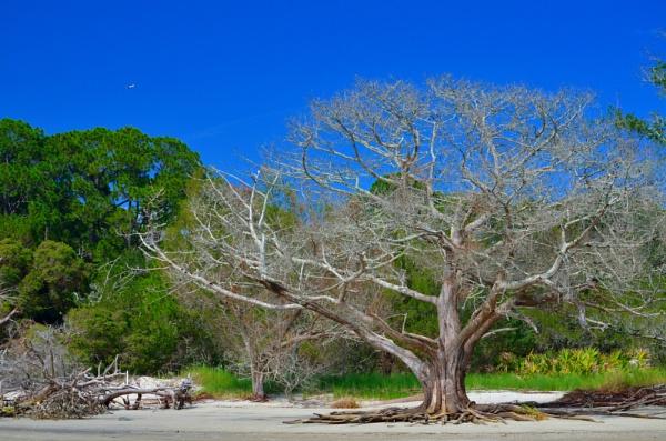 The Beach Tree by kmfletch