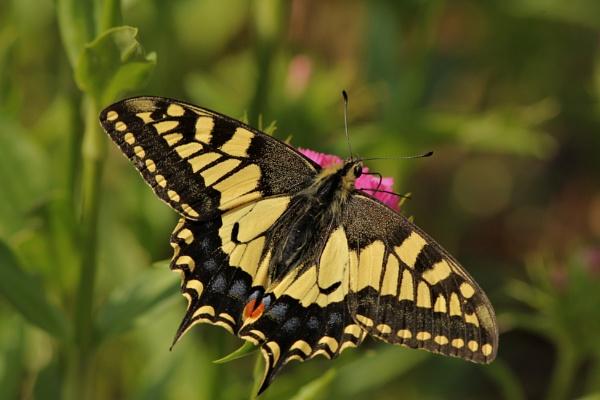 Swallowtail by ali63