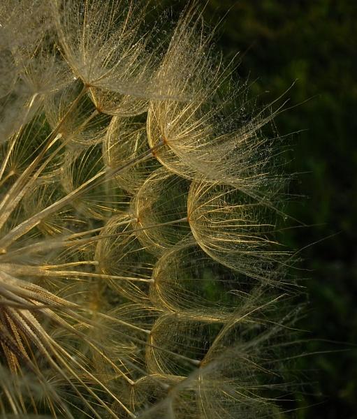 Dandelion by SerbAdrian