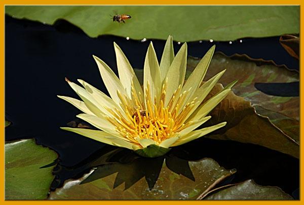 Yellow Lily by minamahal