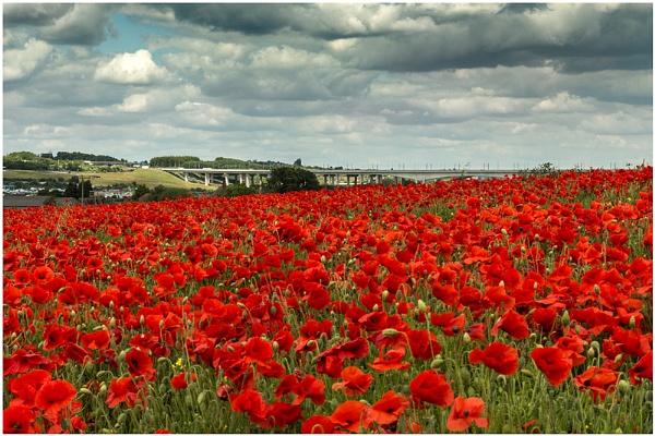 Kentish Poppies by capto