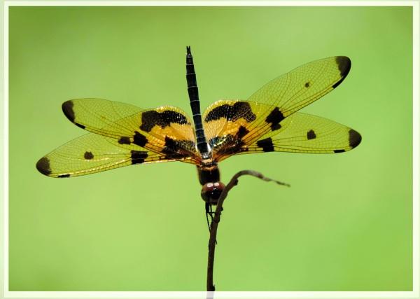 dragon fly by Buddhadev