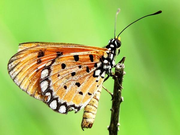 butterfly by Buddhadev