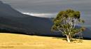 Lone Bluegum Tree