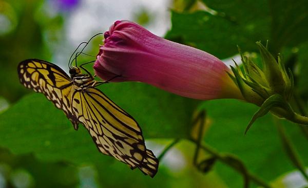 Tree Nymph Butterfly by JulieAsh