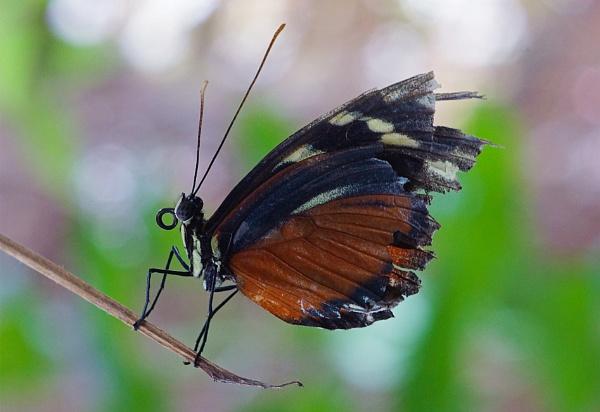 Citrus Swallowtail by JulieAsh