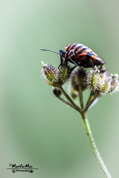 Red & Black striped bug by ManCorMac