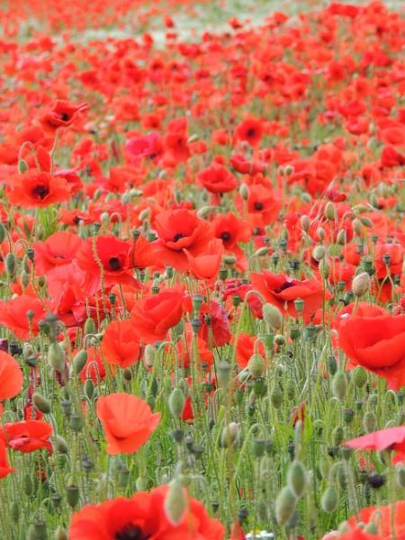 Poppy Field by Andrea16