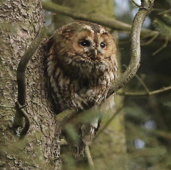 tawny owl by fragile