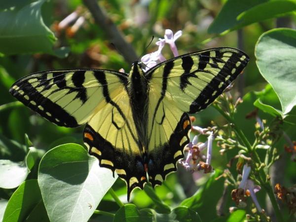 Swallowtail by cindyblacklock