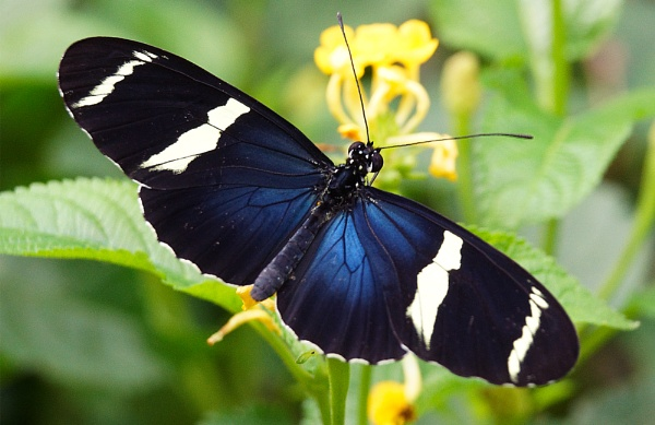 Sara Longwing Butterfly by Taff