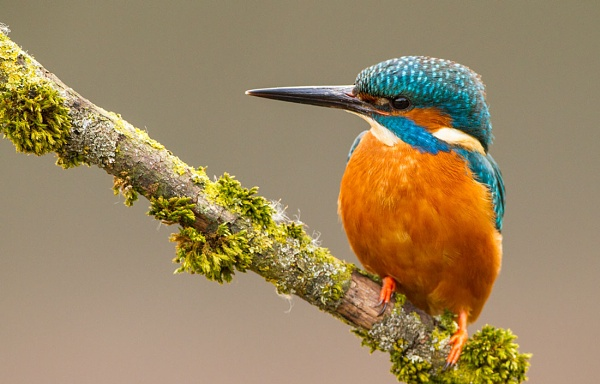 KingFisher by Philip_P