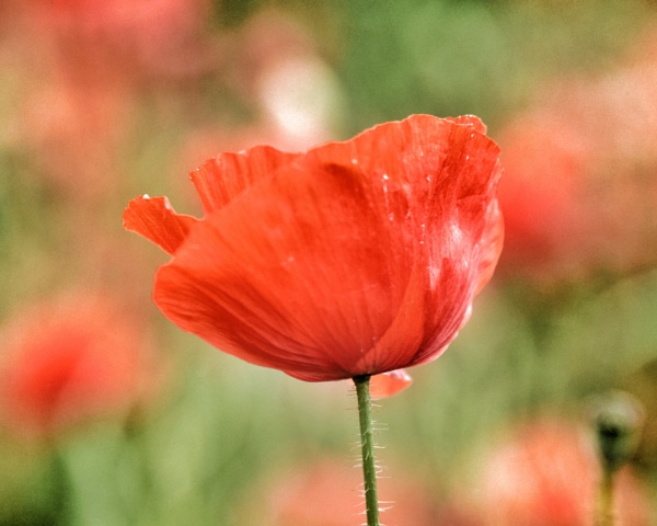 Poppy by CaroleA