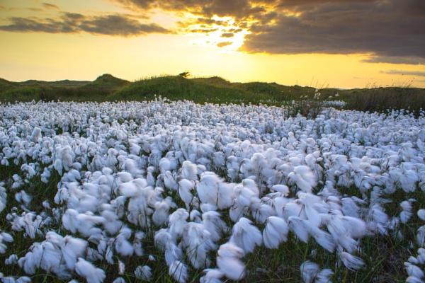 Cottonsedge by GavF