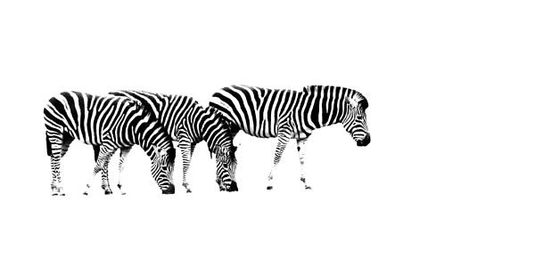 Zebra Trio by iancatch
