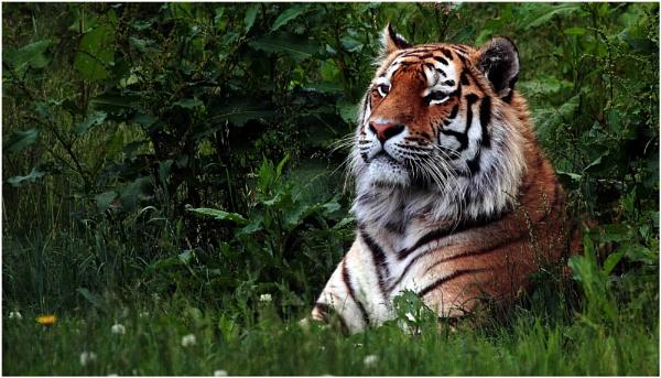 Tiger YWP 200613 by iancatch
