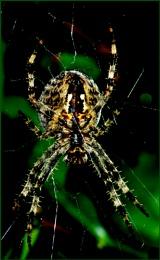 Garden Spider-araneus quadratis.