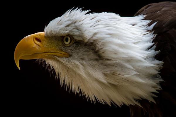 Eagle Stare by Mackem