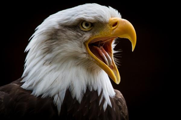 Screaming Eagle by Mackem