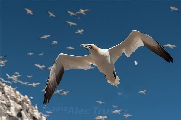 Gannets by paddyman