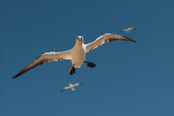 Gannet Landing by paddyman