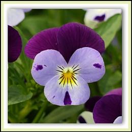 Tones-of-Purple