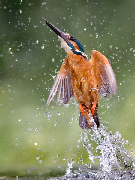 out of the blue - common kingfisher by Jamie_MacArthur