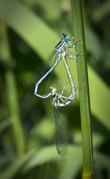 Common Blue Damselflies by jasonrwl