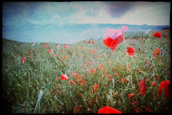 Poppies Multi-Exposure by joshwa