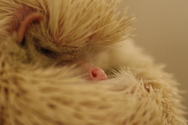 Albino Hedgehog by Kai_KaiAmydyer