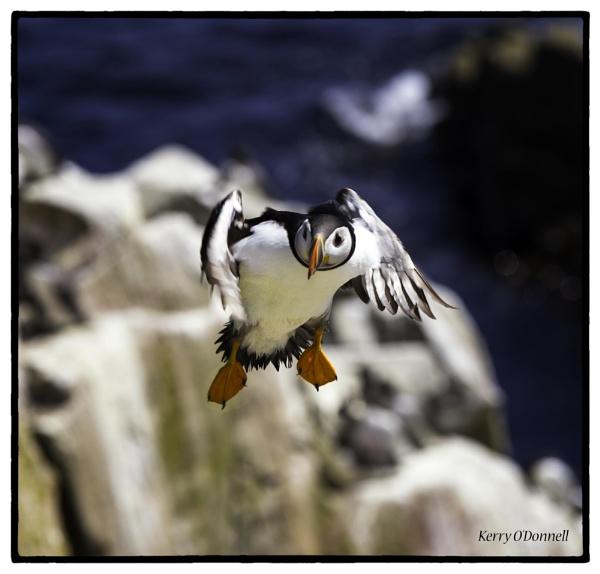 Saltees puffin #2 by ANNIEKERR