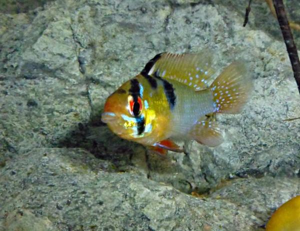 RAM CICHLID by Catfish2