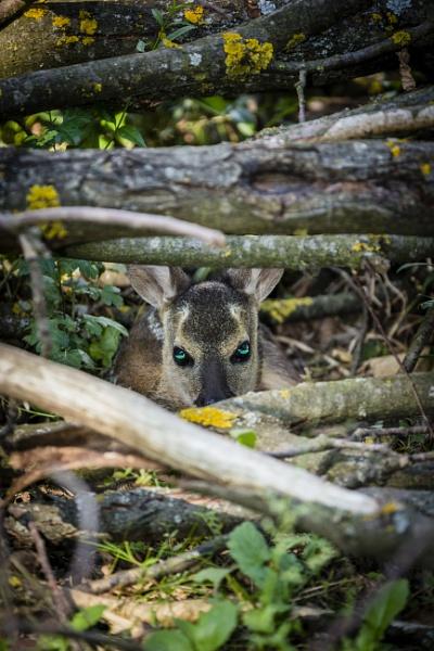 Bambi Surrogate by Archangel72