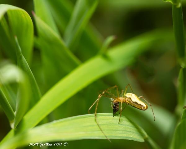 arachnid and lunch (Tetragnatha extensa ty to Ade_Osman) by mohikan22