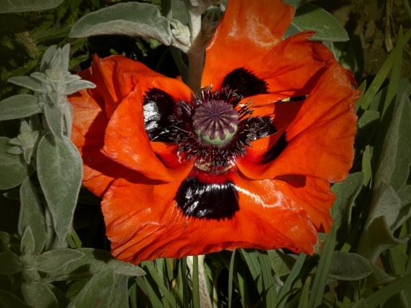 poppy by christinecilia