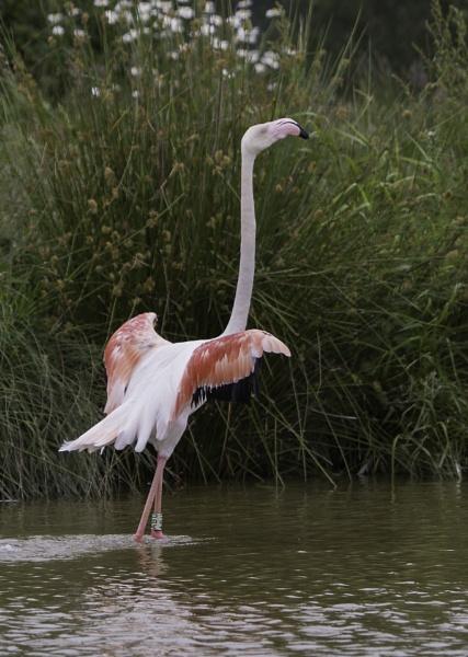 Flamingos at Pensthorpe by pdunstan_Greymoon