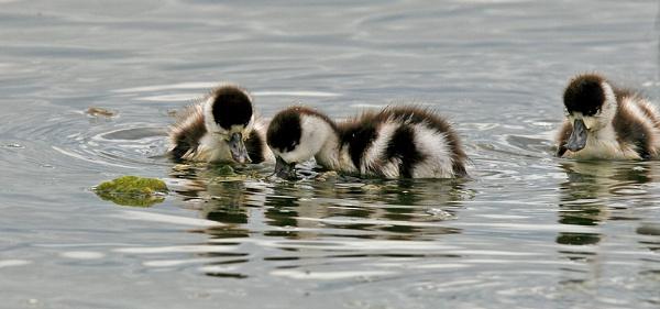 Shelduck chicks by suejoh