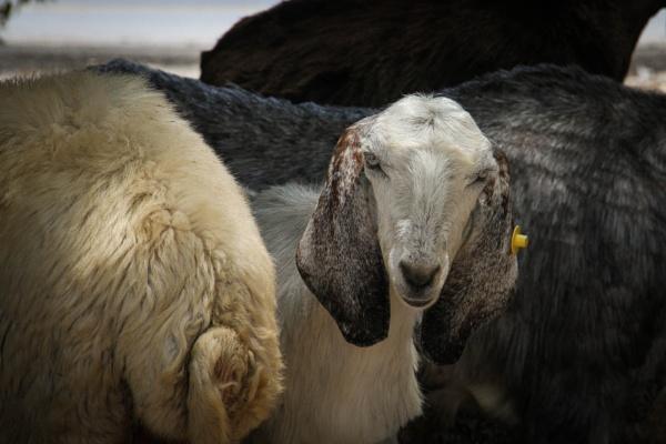 goat look by netz