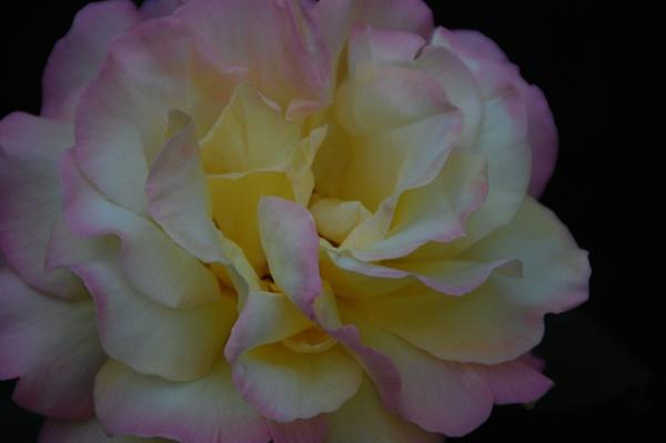 rose by ianball