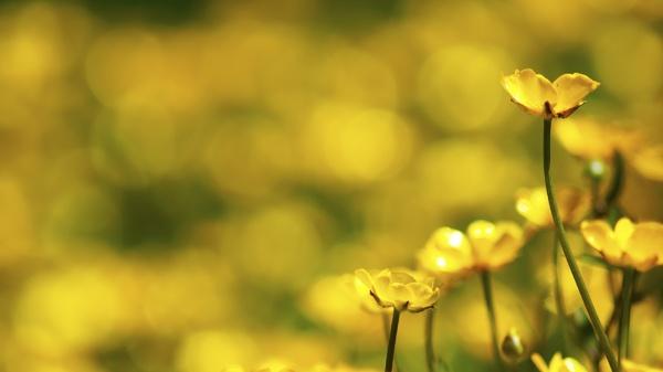 buttercups by outdoorbill