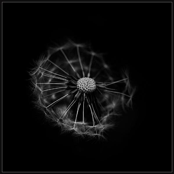 Mono Dandelion by Morpyre
