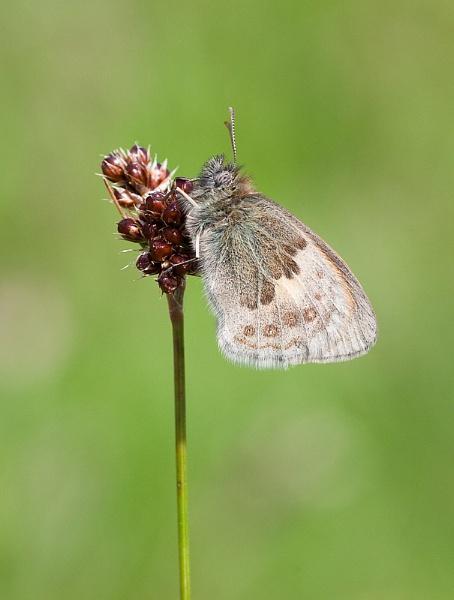Small Heath Butterfly by DerekL