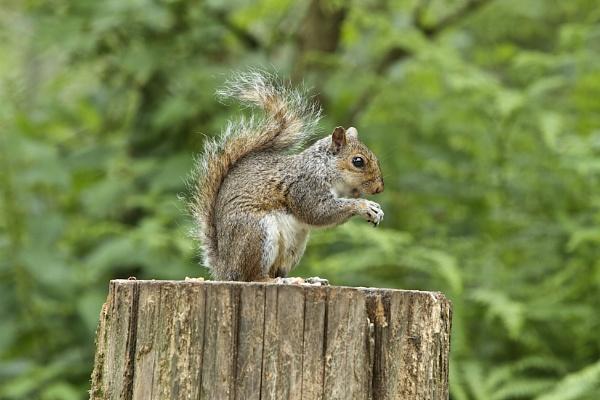 Squirrel by Granddad